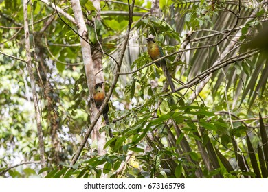 Scene of a couple of Rufous-capped Motmot (Baryphthengus ruficapillus) perched on a tree. One bird looks at the right side. Several sheets around the couple.