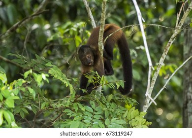 Scene of a crested capuchin monkey (Sapajus robustus) standing on a branch. The monkey's body is tilted down. The monkey is holding a branch with leaves.