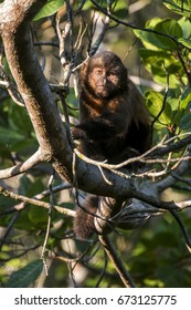 Scene of a crested capuchin monkey (Sapajus robustus) in a tree. The monkey is seen from the front. Green leaves around the monkey.
