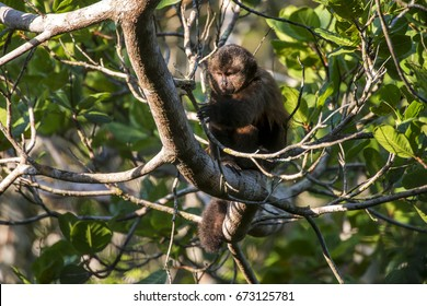 Scene of a crested capuchin monkey (Sapajus robustus) rests in a tree. The monkey looks at a branch. The monkey grabs the branch with its left paw.