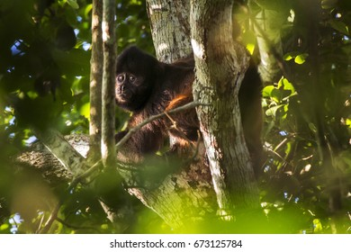 Scene of a crested capuchin monkey (Sapajus robustus) seen between the branches. The monkey's body is turned to the left. The monkey's head turned back.