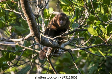 Scene of a crested capuchin monkey (Sapajus robustus) standing in a tree. The monkey is seen from the front. Several thin branches and leaves around the monkey.