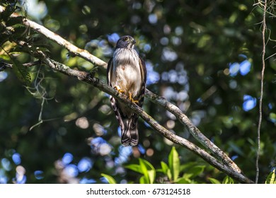Scene of a Double-toothed Kite (Harpagus bidentatus) perched on a branch. The bird is seen from the front. The bird's head is turned to the right side.