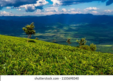 Scene of extensive plantation on tea estate near Karoit, West Kenya highlands, overlooking the Great Rift Valley. Tea leaves on bushes in foreground. Kenya, Africa. Camellia sinensis.