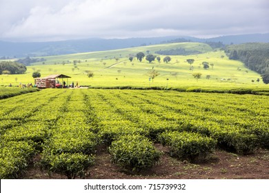 Scene of extensive plantation on tea estate, Nandi Hills, West Kenya highlands. Tea leaves on bushes in foreground. Bushes planted in straight lines in fertile red soil. Tea shed & hills in distance.