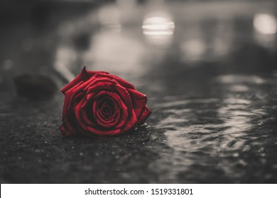 Scene of fresh red falling rose on the concrete floor with rain drops. broken heart concept. soft light. vintage, gunge, old. selective focus. copy space.