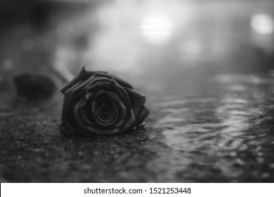 Scene of fresh red falling rose on the concrete floor with rain drops. broken heart concept. soft light. black and white. copy space. selective focus