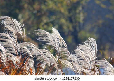 a scene full of silver grass in autumn