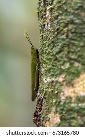 Scene of a green grasshopper perched on a tree. The body of the green grasshopper is turned upwards. The antenna of the green grasshopper is yellow on the tips.