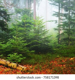 A scene in a misty pine forest with small pines and a fallen tree stump. French Alsace, Vosges mountains