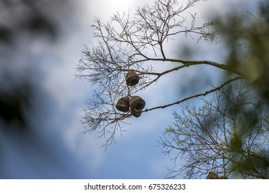 Scene of a Monkey pot tree (Lecythis pisonis). Focus on the fruit of the monkey pot tree.