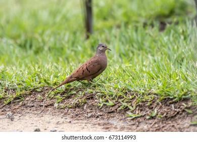 Scene of a ruddy ground-Dove (Columbina talpacoti) in the ground. The ruddy ground-Dove body is turned to the right. Creeping plants next to bird.