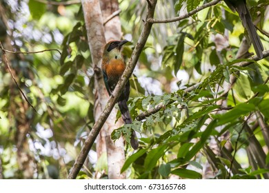Scene of the Rufous-capped Motmot (Baryphthengus ruficapillus) bird on a branch. The bird looks to the right side. Several branches with leaves around the bird.
