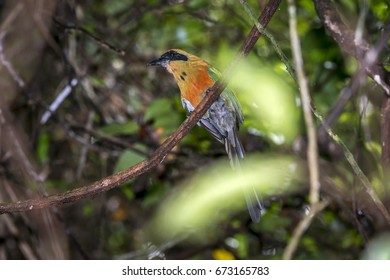Scene of the Rufous-capped Motmot (Baryphthengus ruficapillus) perched on a branch. Several branches and leaves around the bird.