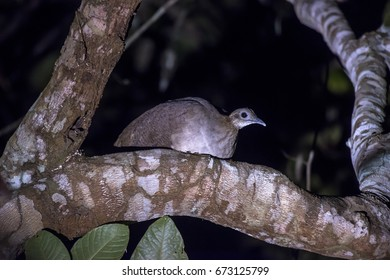 Scene of a Solitary Tinamou (Tinamus solitarius) perched on a tree. The bird is facing the right side. Some green leaves underneath the bird.
