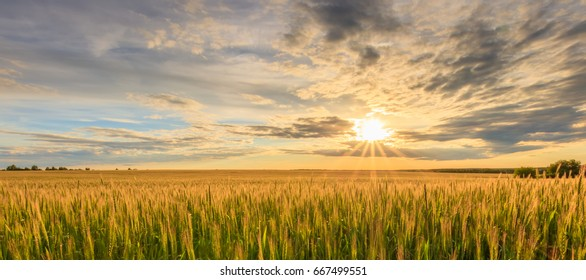 Scene of sunset on the field with young rye in the summer with a cloudy sky. Landscape.
