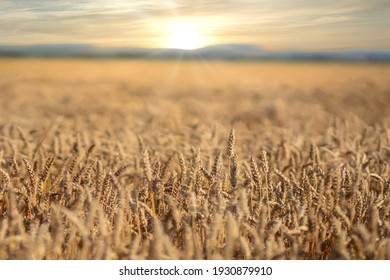Scene of sunset or sunrise on the field with young rye or wheat in the summer with a cloudy sky background. Landscape