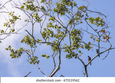 Scene of two Bat Falcon (Falco rufigularis) perched on a tree. Sky with many clouds. Tree with green leaves and other yellow.