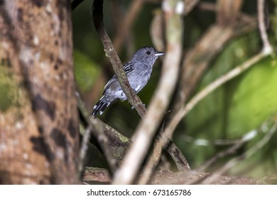 Scene of the Variable Antshrike (Thamnophilus caerulescens) perched on a branch. The bird is facing the right side.