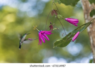 Scene of a Violet-capped Woodnymph (Thalurania glaucopis), that flies near the flower of the purple passionflower.