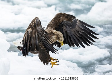 a scene in which a white-tailed eagle runs toward its prey