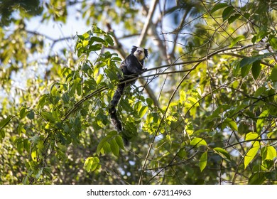 Scene of a white-headed mamoset (Calithrix geofroyi) standing on a thin twig. Several green leaves around the monkey.