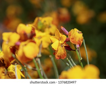 Scene with yellow flowers erysimum wallflower in bloom.