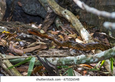 Scene of an Yellow-bellied Puffing Snake (Spilotes sulphureus) crawls across the ground. Trunks and dry leaves near the snake.