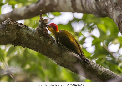 Scene of a Yellow-throated Woodpecker (Piculus flavigula) perched on a tree. The bird thrusts its beak into a hole in the branch.