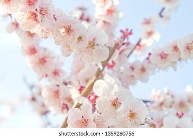 Scenery around Osaka Castle in Osaka,Japan. Plum blossoms around Osaka Castle.Scientific name is Prunus mume.English name is Japanese apricot.