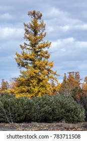 Scenery autumn forest landscape of Kamchatka Peninsula: highest and most widespread Pinophyta (Coniferae) plants on Kamchatka - orange-yellow larch trees and bushes of shrub evergreen Pinus Pumila.