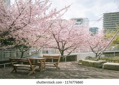 Scenery with bench / Kanuki Park of Kawazu cherry tree