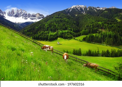 scenery of Dolomites - green grass pastures and cows