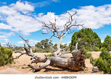 Scenery with Dry Tree in the Desert in Utah