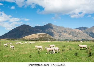 Scenery farm full of sheep