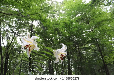 Scenery with the flower of the gold-banded lily