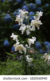 Scenery with the gold-banded lily