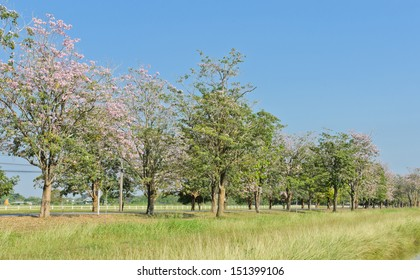 Scenery green field with pink trumpet blossom