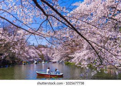 Scenery of Inokashira Park where cherry blossoms are in full bloom