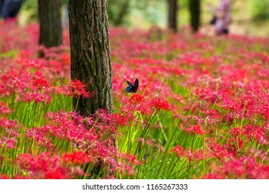 """Scenery of """"Kinchakuda"""" where Red spider lily blooms all over. A black butterfly fly around the flowers. Hidaka City, Saitama Prefecture, Japan."""
