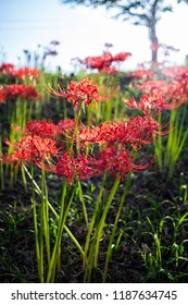 "Scenery of ""Kinchakuda"" where Red spider lily blooms. From mid September to early October, red flowers are in full bloom. Hidaka City, Saitama, Japan."