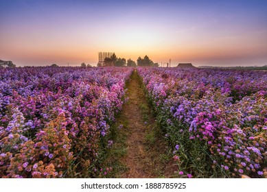 The scenery of the Margaret flower field in the fresh morning in Chiang Rai, Thailand.