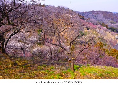 Scenery of plum forest in Kanagawa prefecture