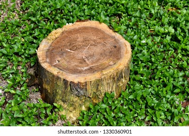 Scenery portrait of the tree stump of big tree with green natural forest background