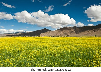 Scenery of rapeseed field in Shigatse, Tibet