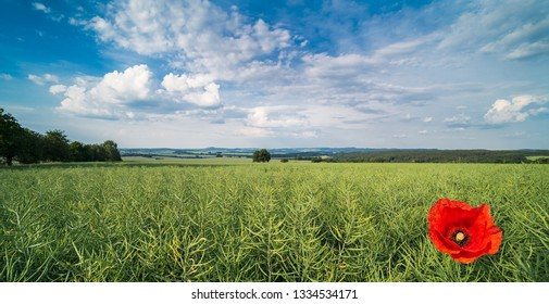 Scenery with red poppy bloom in rapeseed field. Papaver rhoeas. Brassica napus. Beautiful flowering corn rose in a scenic green landscape under spring blue sky and white clouds. Canola pods. Ecology.