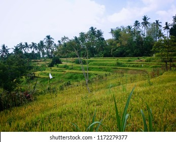 Scenery of The Rice Fields When The Harvest Season Will Coming Soon Ringdikit Village, North Bali, Indonesia