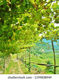 Scenery under a green row of grapevine on a vineyard on a hillside in the Vinschgau close to Meran in Italy just before sunset