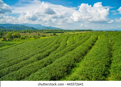 The scenery view of Choui Fong Tea plantations in Chiang Rai the northern province in Thailand.