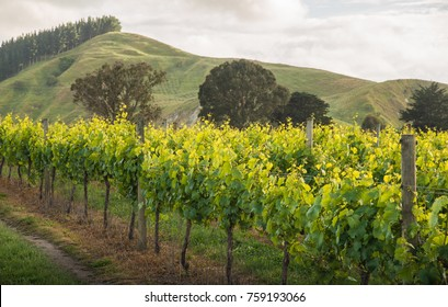 The scenery view of grapes vineyards in Hawke's Bay region of New Zealand.